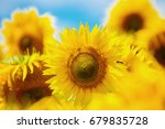 Blooming Sunflower. Sunflowers...