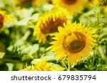 Beautiful Sunflowers In Summer...
