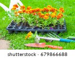 flowers ready for planting on a ... | Shutterstock . vector #679866688