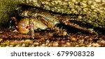 the japanese spider crab has...   Shutterstock . vector #679908328