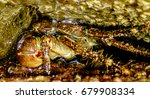 the japanese spider crab has...   Shutterstock . vector #679908334