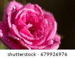 rose flower   Shutterstock . vector #679926976