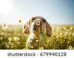 Stock photo a dog smelling a chamomile flower 679940128