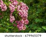 hybrid tea roses. tea rose. a... | Shutterstock . vector #679965379