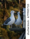 Small photo of Pair of Seagulls