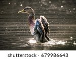 Female Mallard Duck Fapping He...