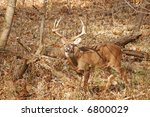 A Picture Of An Adult Male Buck ...