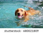 Stock photo labrador retriever happy dog swimming dog smiling 680021809