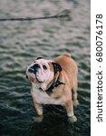 cute grumpy english bulldog... | Shutterstock . vector #680076178