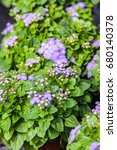 Small photo of colorful Ageratum blooming in summer garden.