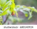 Small photo of Ladybug (Adalia bipunctata) insects in the garden, mating season, ladybugs are pests on nim or neem tree(Azadirachta indica)