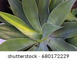 agave attenuata or  foxtail... | Shutterstock . vector #680172229