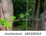 Ivy Gourd Are Growing Along Th...