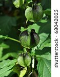Small photo of Green Nicandra seedbox capsule in summer period