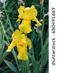 Beautiful Yellow Flag Iris ...