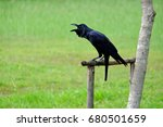 Black Raven Sits On The Dried ...