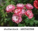shrub pink roses. closeup.... | Shutterstock . vector #680560588