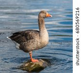 Greylag Goose  Anser Anser ...