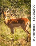 Small photo of Profile nyala com green vegetation in the background