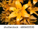 the blossoming orange lily... | Shutterstock . vector #680603530