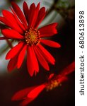 A Vibrant Deep  Rich Red Daisy...