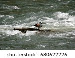 Harlequin Duck In The...
