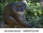 Allen's Swamp Monkey Up Close...