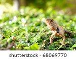 thai lizard | Shutterstock . vector #68069770