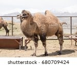 Small photo of Double hump camel in a farm