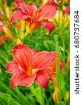 hemerocallis   beautiful pink... | Shutterstock . vector #680737684