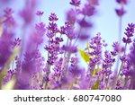 lavender bushes close up on... | Shutterstock . vector #680747080