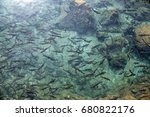 flock of fish in the sacred... | Shutterstock . vector #680822176