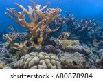 Small photo of Elkhorn coral (Acropora palmata) is considered to be one of the most important reef-building corals in the Caribbean.