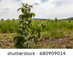 young sprouts of raspberry in... | Shutterstock . vector #680909014
