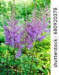 Small photo of Pink Astilbe Arendsii flowers bush