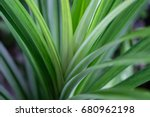 pandan   Shutterstock . vector #680962198
