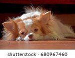 chihuahua puppies with cute... | Shutterstock . vector #680967460