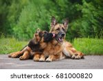 Stock photo german shepherd puppy licks an adult dog 681000820