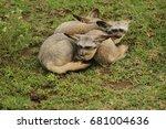 bat eared fox in serengeti | Shutterstock . vector #681004636