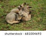 bat eared fox in serengeti | Shutterstock . vector #681004693