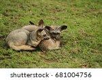 bat eared fox in serengeti | Shutterstock . vector #681004756