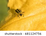 Striped Cucumber Beetle ...