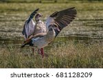 Two Egyptian Geese Drying Thei...