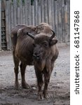 Small photo of American buffalo bison standing on the dirt and watching