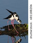 Pair of Black-necked Stilts (Himantopus mexicanus) in blue water
