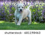 Stock photo yellow labrador puppy 681198463