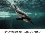 Gentoo Penguin Diving In To Th...