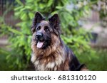 A Long Haired German Shepherd...