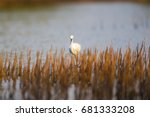 closed up little egret  egretta ... | Shutterstock . vector #681333208