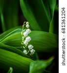 Lily Of The Valley  May Lily. ...
